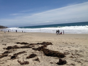 Kelp beds are plentiful off Laguna and storms wash it up, this also at Main Beach.