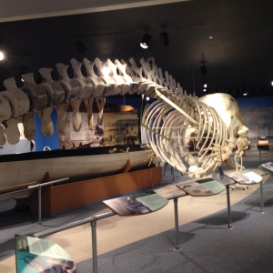 Whales are large as are their skeletons.